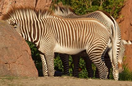 Ein gebildeter Glaube ist kein Zebra: Er denkt nicht schwarz-weiß und braucht sich nicht zu verstecken.